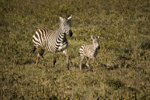 Mother and baby zebra on safari in Kenya