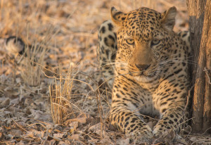 Leopard n safari in South Luangwa National Park, Zambia