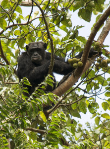 Chimpanzee on walking safari in Uganda